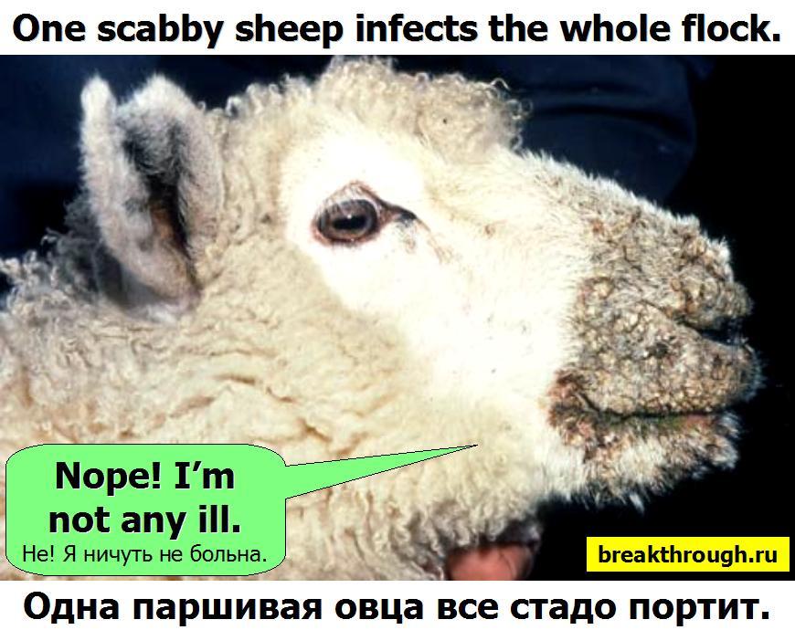 Одна паршивая шелудивая овца все стадо портит